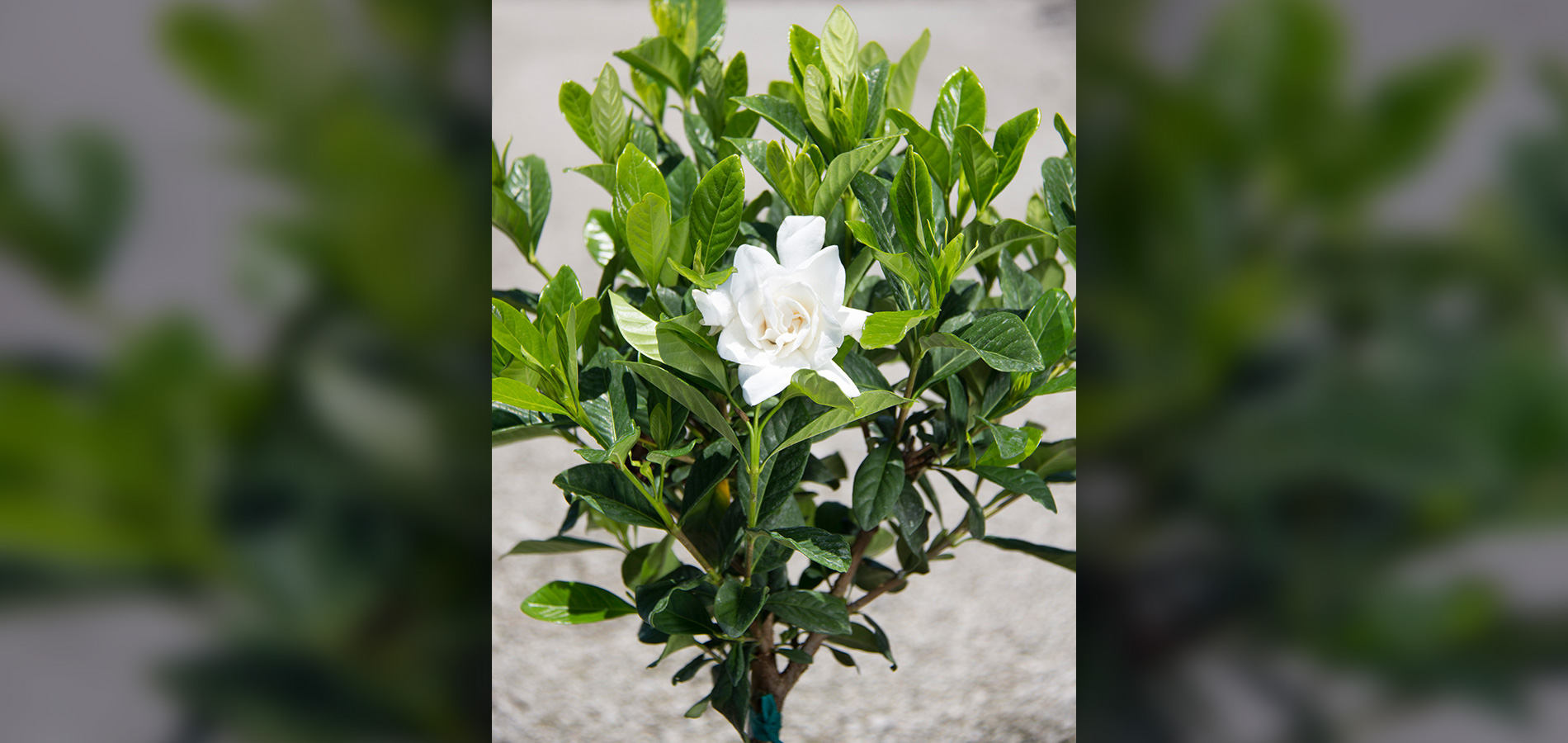 An Industry Standard For Many Years, We Grow This Beautifully Fragrant Tree  Or Bush Both Grafted And Non Grafted. Gardenia Miami Supreme